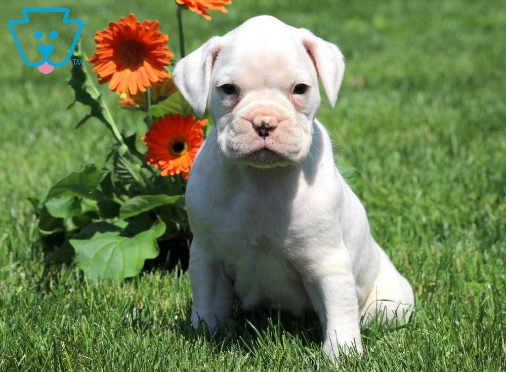Snow White Boxer Puppies For Sale Boxer Puppy White Boxer Puppies