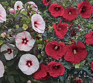 Cottage Farms 2 Pc Top Shelf Giant Hardy Hibiscus Products