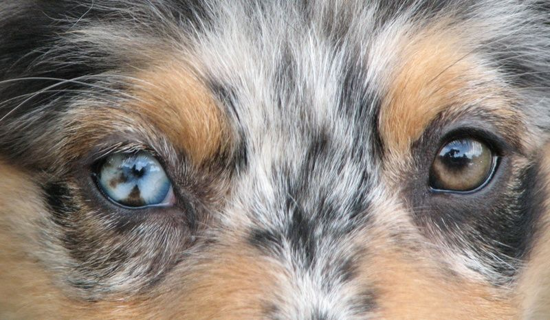 All About Fur And Eye Color In Aussies Eyes Pigment Markings