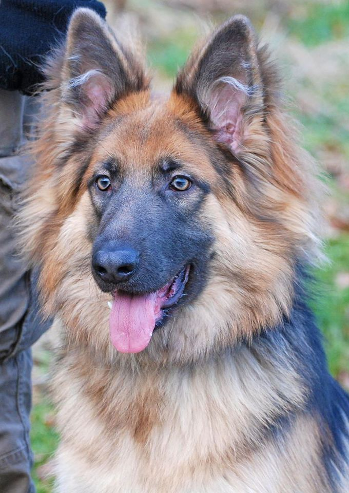 A Stunning Long Haired German Shepherd This Beauty Is Ellie She