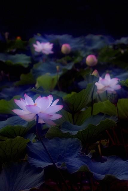 Pond At Night In The Garden Flowers Lotus Flower Lotus
