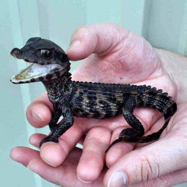 Detyonysh Alligatora Animal Pinterest Animal