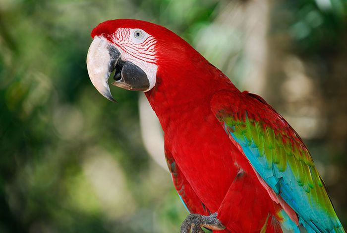 Red and Green Macaw #Parrots #Panama