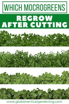 Which microgreens regrow after cutting — Vertical Gardening