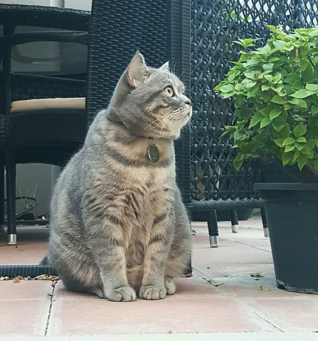British Shorthair Silver Stripe British Shorthair Cats Kittens And Puppies Cute Cats And Kittens