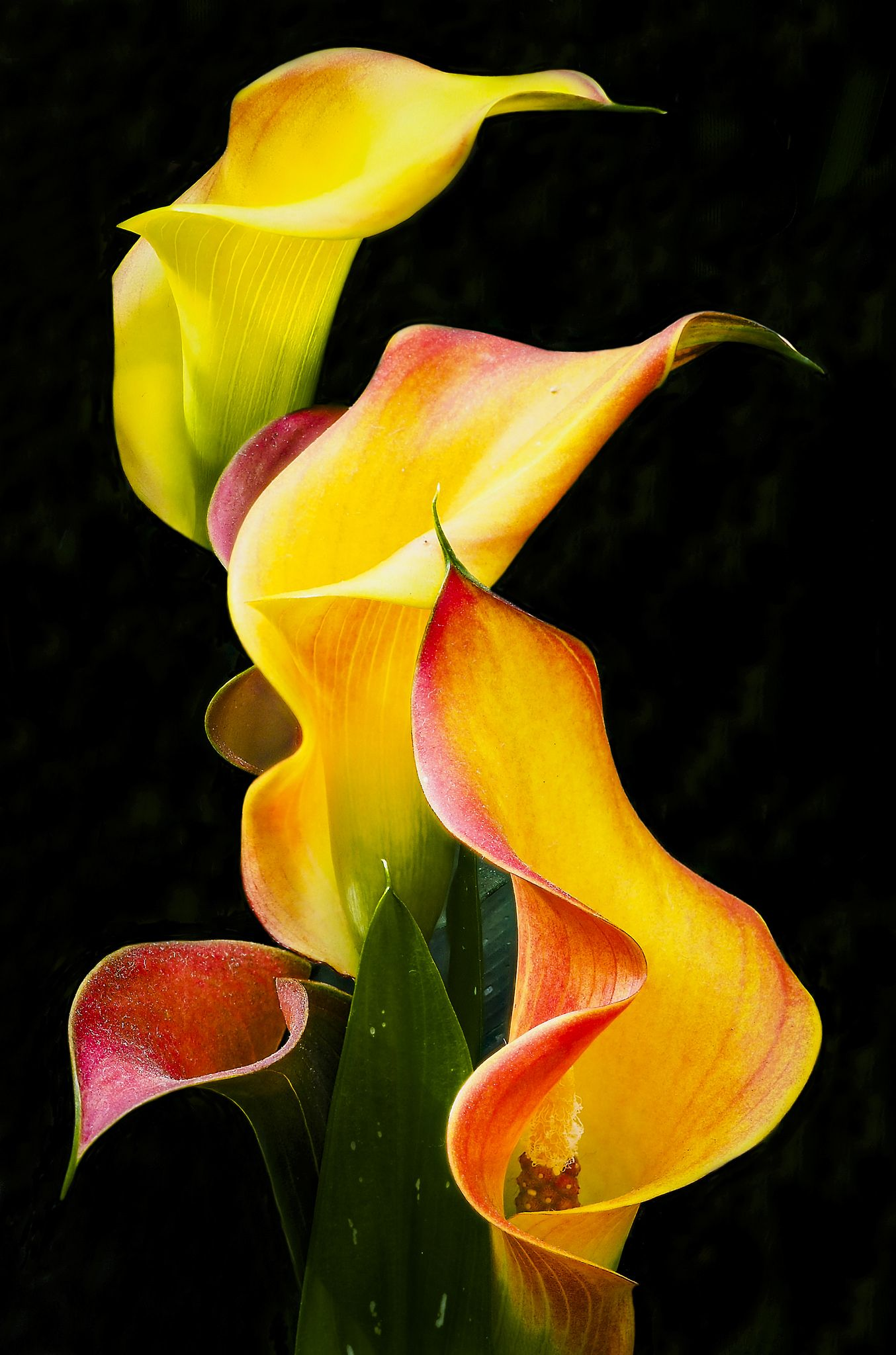 Calla Lily Calla Lilies Flowers And Flower