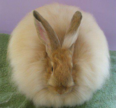 giant angora rabbit angora rabbit and rabbit