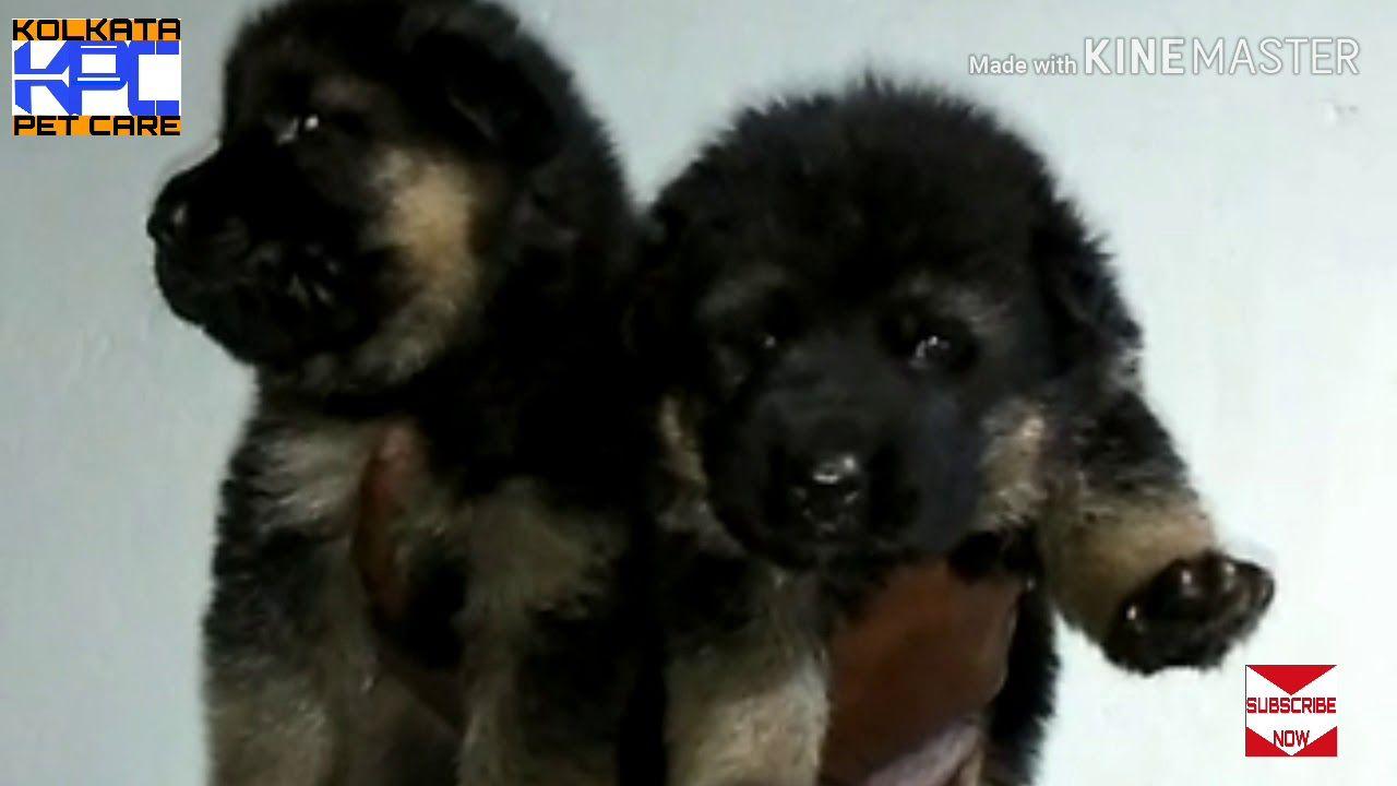 German Shepherd Dog Price In India Gsd Puppies Sale In India