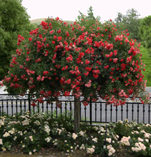 Knockout Rose TREE Disease resistant even to blackspot