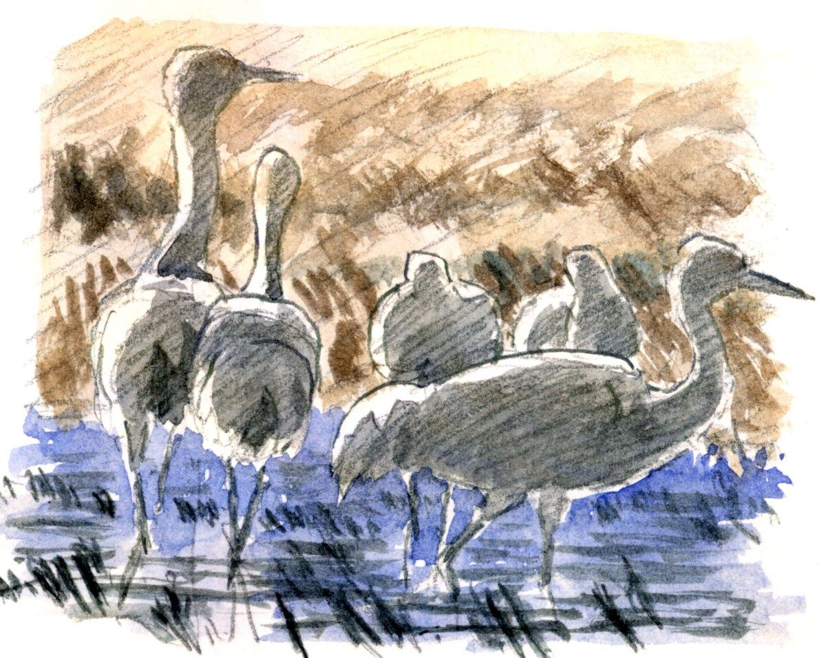 How to draw sandhill cranes video workshop