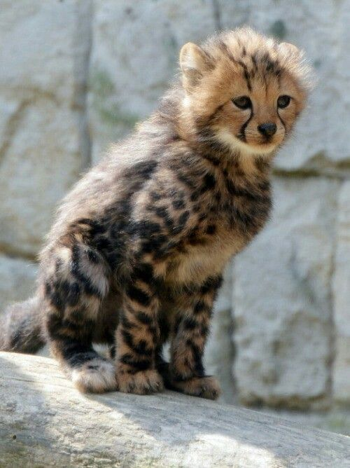 King cheetah cub