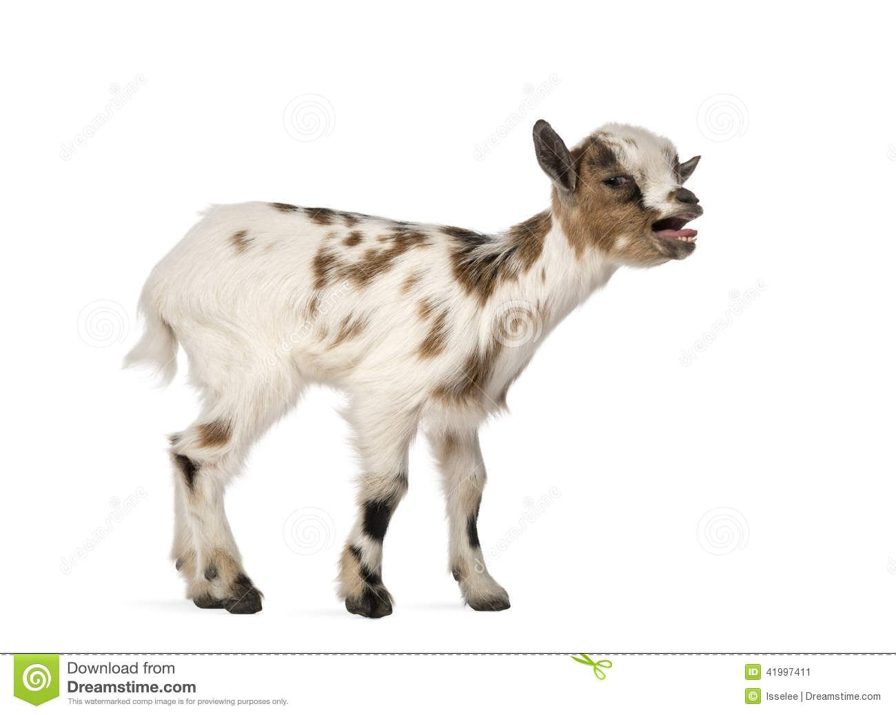 Young Domestic Goat Bleating, Kid, Isolated - Download From Over 45 ...