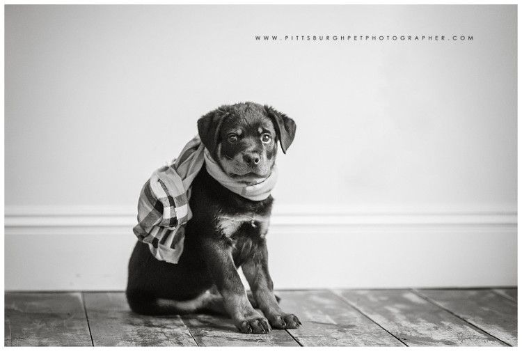 Rottweiler Puppy Pittsburgh Dog Photographer Best Pittsburgh