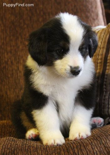 Miniature Australian Shepherd I Want One Aussie Dogs
