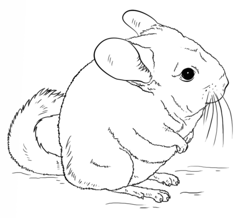 High Quality Cute Long Tailed Chinchilla Coloring Page From Chinchillas Category. Select  From 25445 Printable Crafts