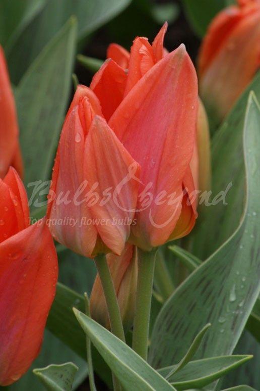 Tulip - Orange Toronto