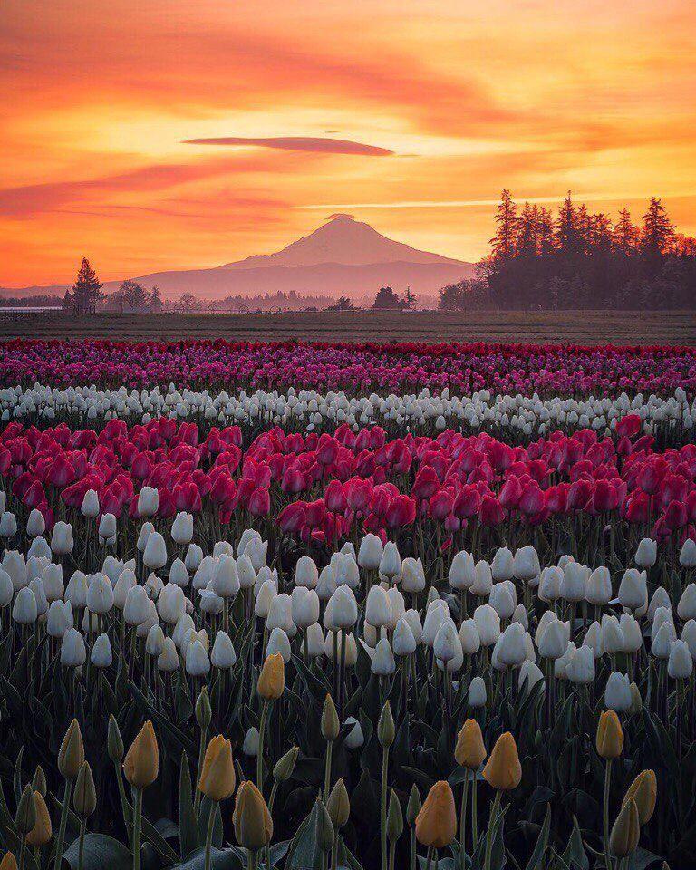 укреплению картинки красивый цветущих на полях тюльпанов гелевая обувь высоком