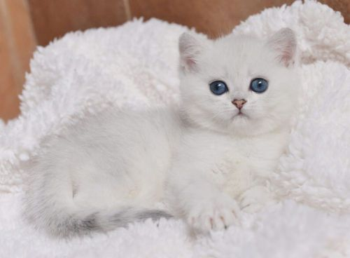 British Shorthair Chinchilla Only One Male Kitten British Shorthair Kittens British Shorthair Cats For Sale