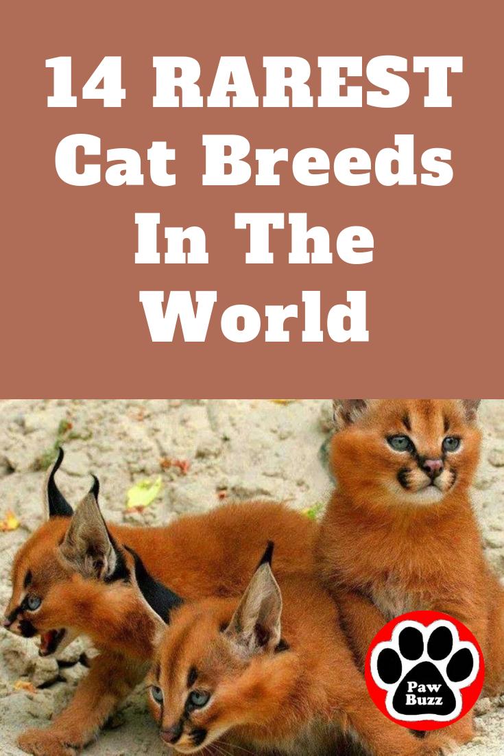 14 RAREST Cat Breeds In The World Rare cat breeds, Cat