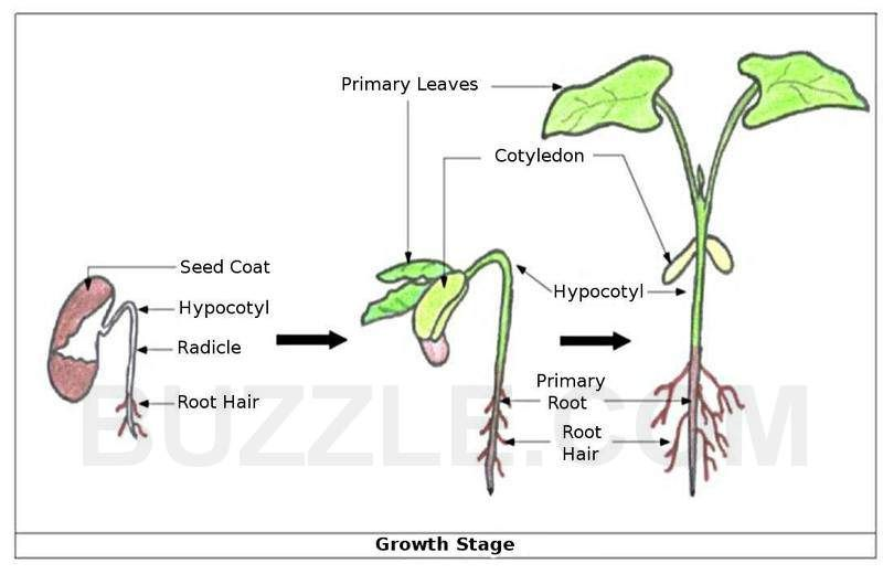 diagram of a bean plant photosynthesis diagram of a plant