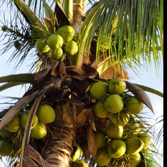 Coconut - in Natural Essentials products! Free of harsh chemicals and enriched…