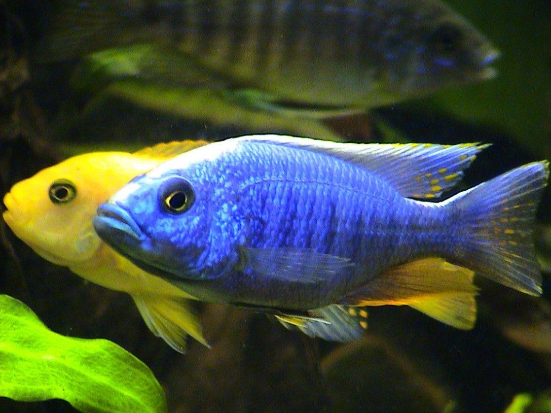 tropical fish   aquarium_fish_1