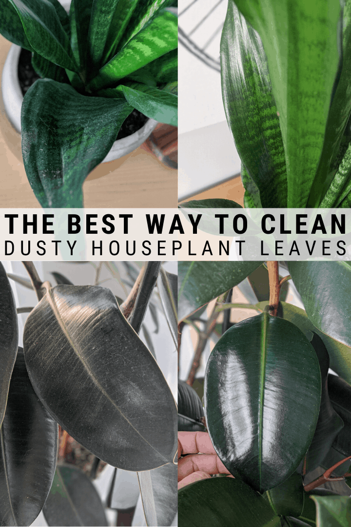 How To Clean Houseplant Leaves In 2020 House Plants Plant Care Pothos Plant