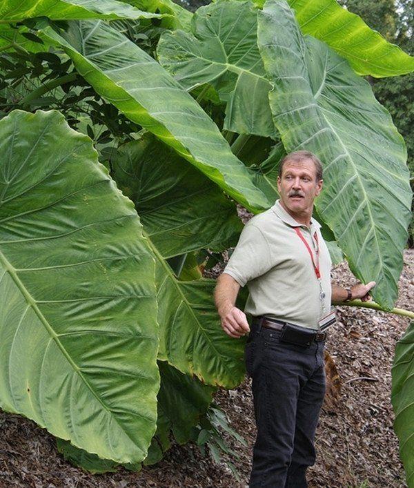 3 LIVE BULBS Colocasia gigantea Thailand Giant Thai Giant Elephant Ear Huge Leaf