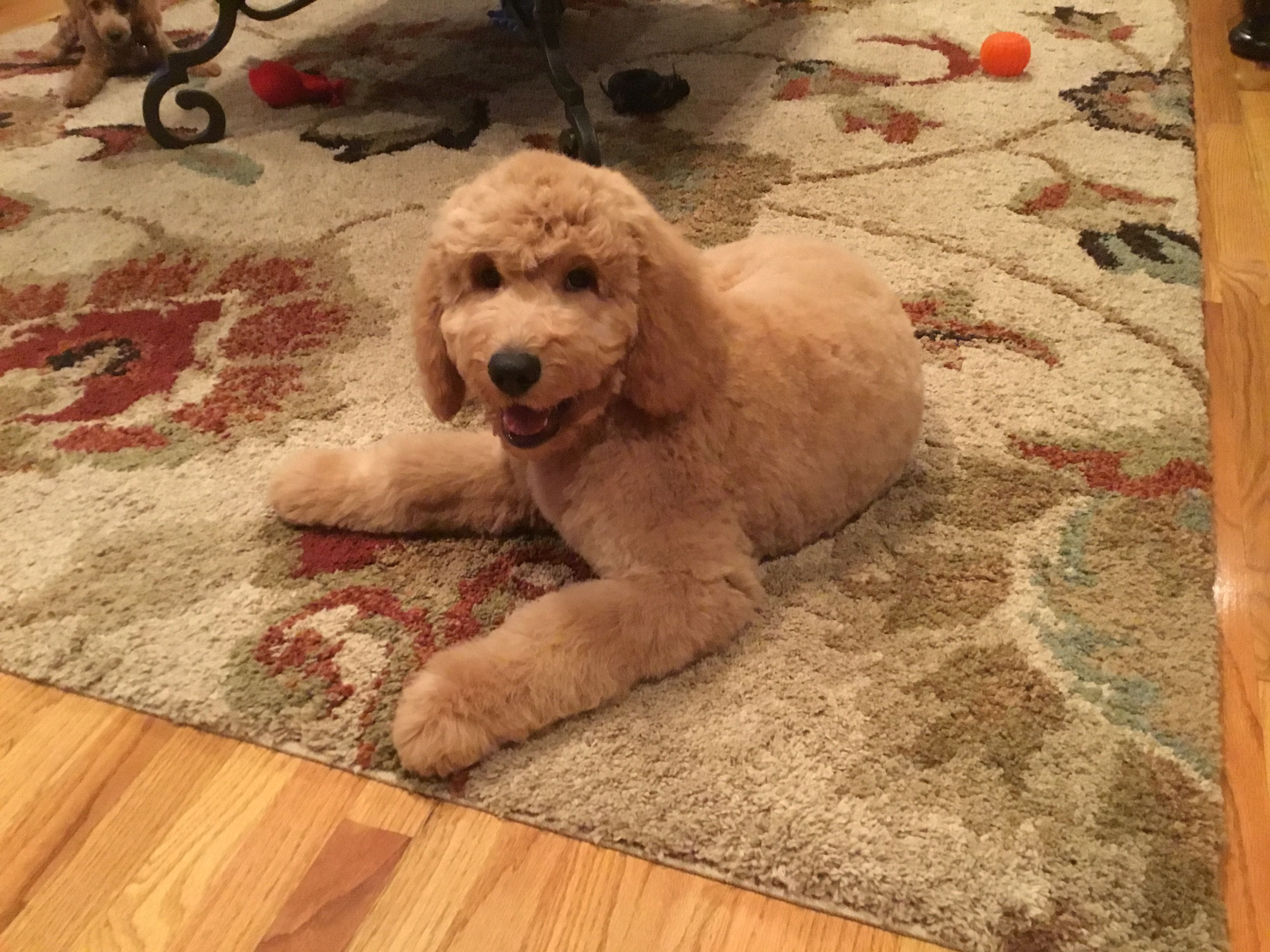 Sully My 3 Month Old Goldendoodle Goldendoodle Mini Poodles