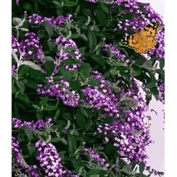 Photo of Kletternde Buddleia Schmetterlingswand®,1 Pflanze Sommerflieder Kletterpflanze Buddleja HybrideLidl.