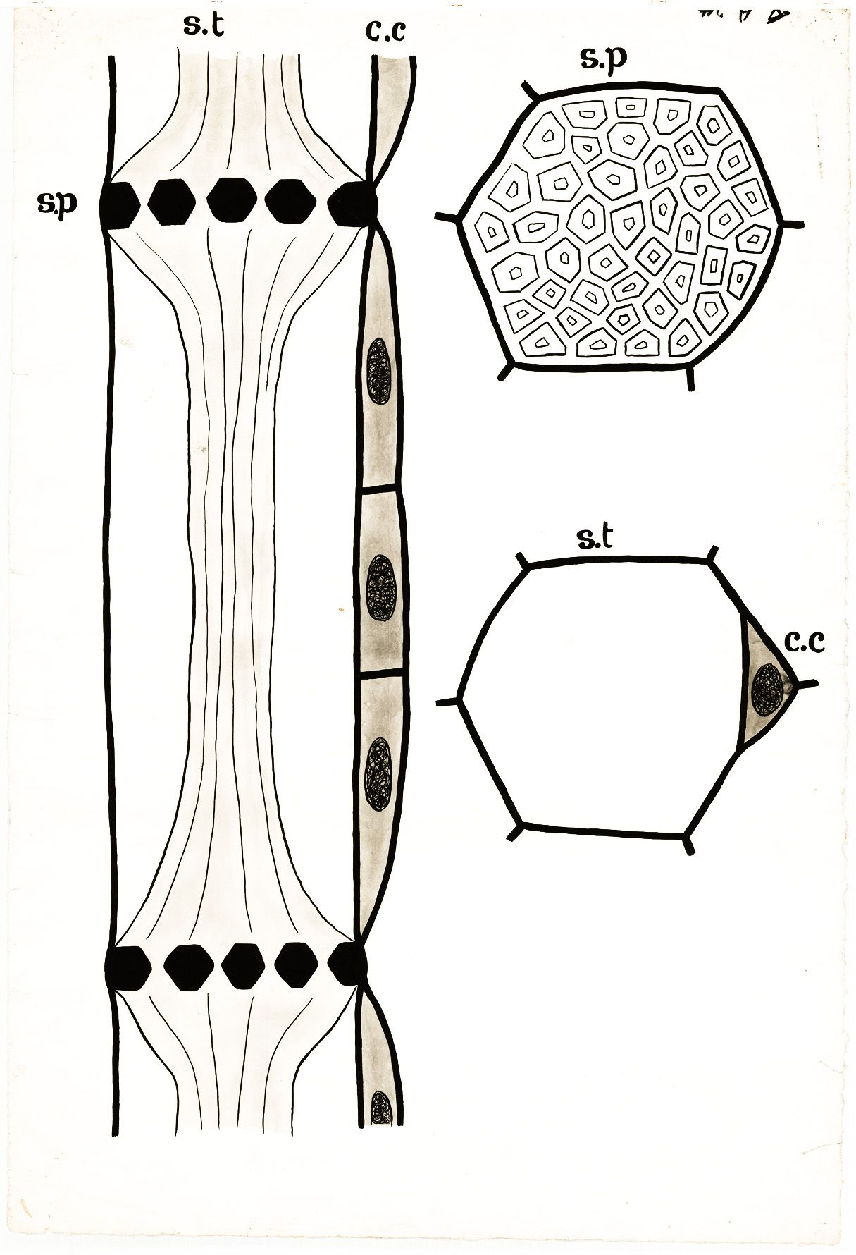 hight resolution of phloem