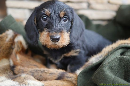 Willow Springs Dachshunds Breeder Of Miniature And Standard