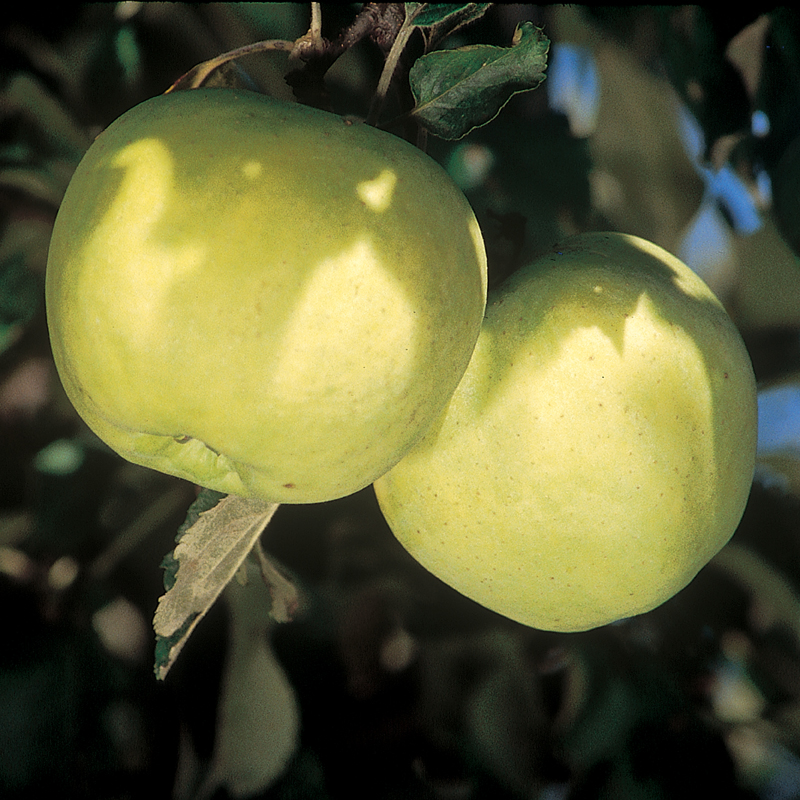 Yellow Transparent Apple from Stark Bro's Apple tree
