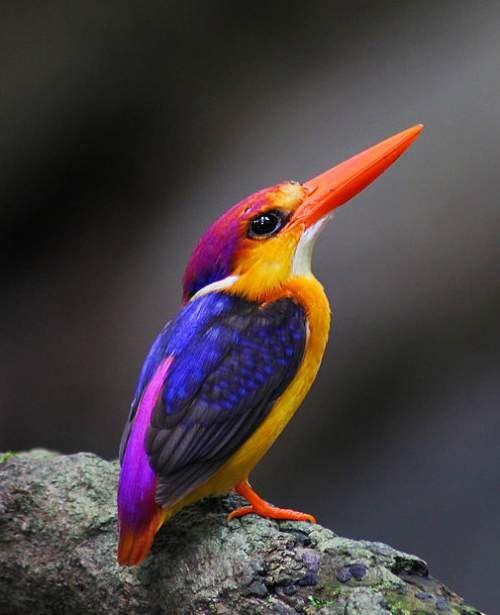 Ceyx Erithaca Rufous Backed Kingfisher