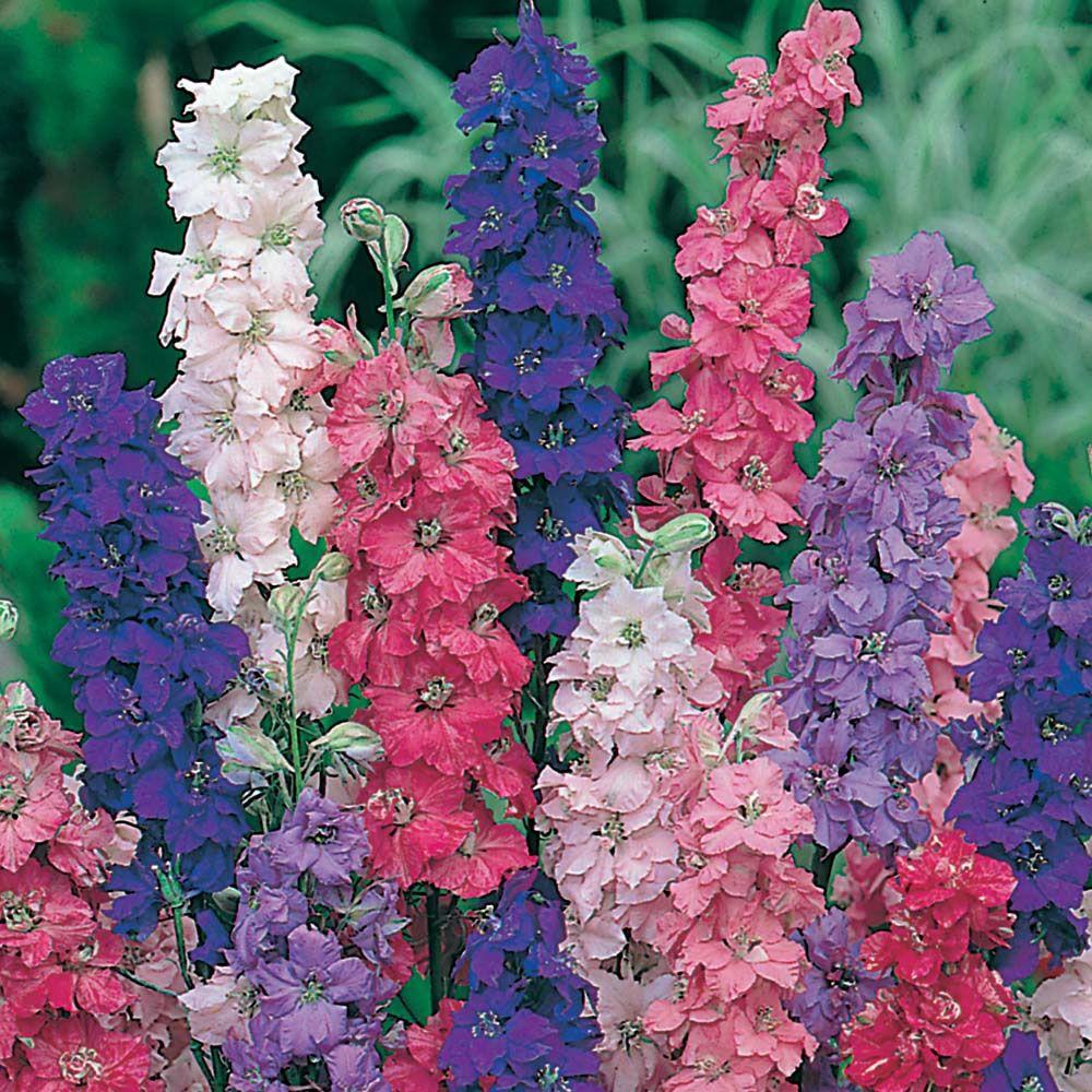Larkspur 'Giant Imperial Larkspur flower, Flower seeds