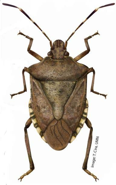 Brown marmorated stink bug : Insects : University of Minnesota ...