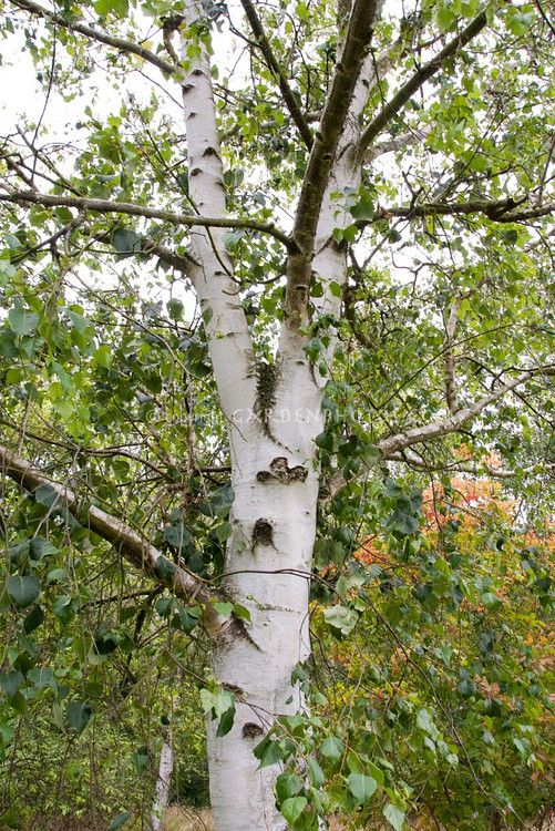 Betula szechuanica szechuan white birch tree trunk bark trees pinterest tree trunks - Flowers that grow on tree trunks ...