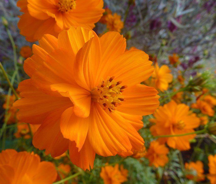 Usa Seller Cosmos Sulphureus Orange 25 Seeds Cosmos Flowers Flower Prints Art Perennial Plants