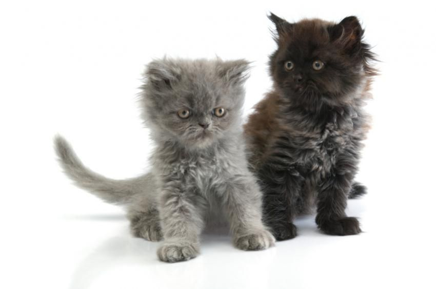 Adorable Images Of Chocolate Persian Kittens Lovetoknow Persian Kittens Kittens Cutest Kittens