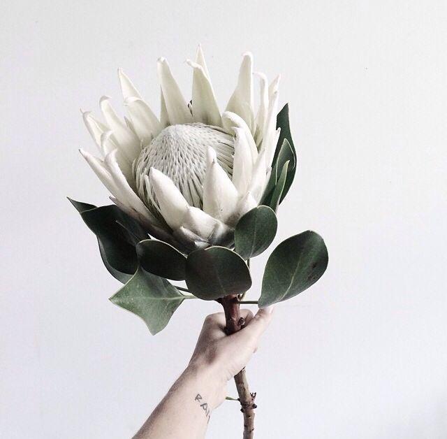 King Protea Wedding Bouquet Protea Flower White Flowers Plants
