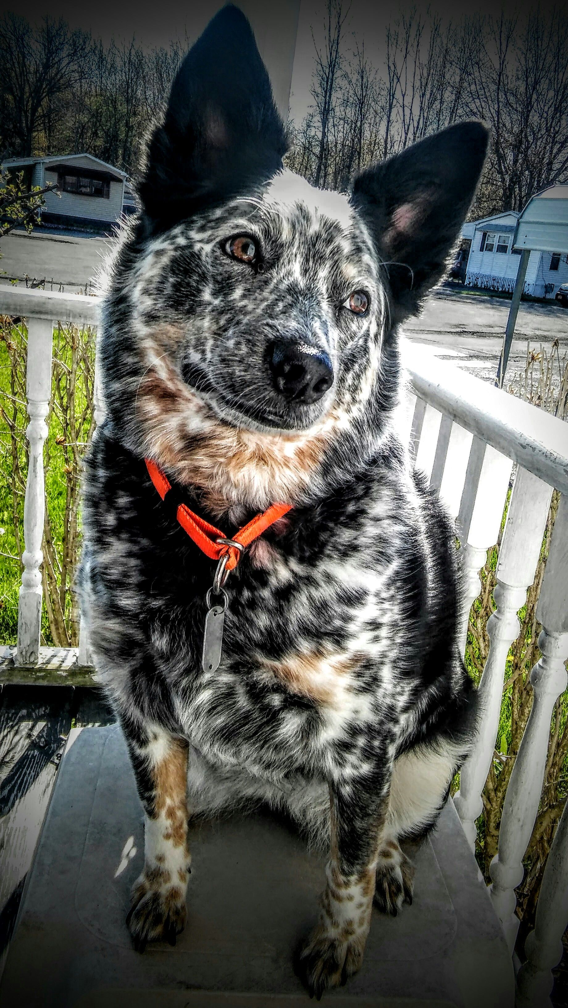 Ava Austrailian Cattle Dog Cattle Dogs Rule Australian Shepherd Dogs