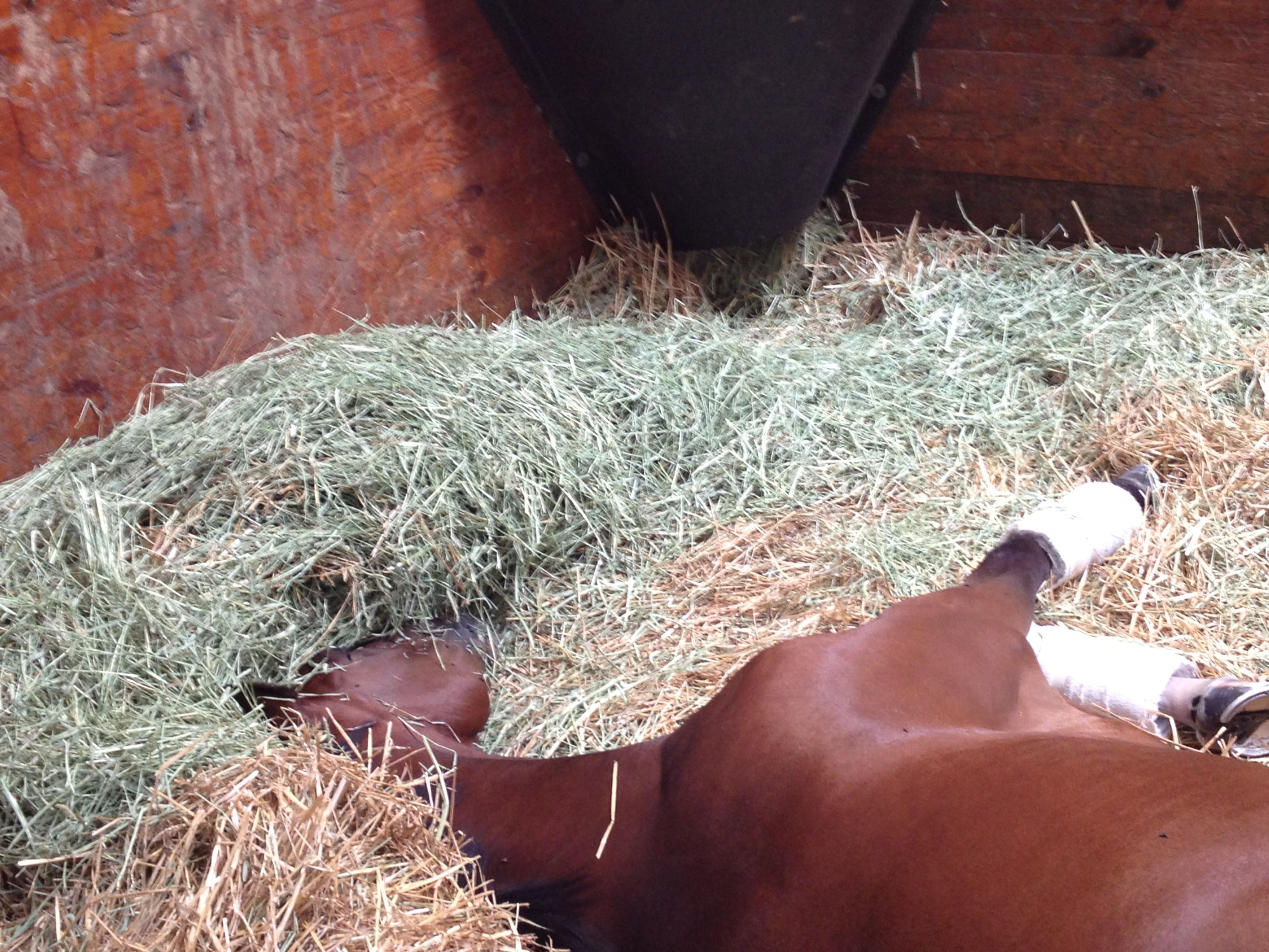 Our Megan Jones says Shalane could use a sleep mask so she doesn't have to get under the hay. | Horse racing
