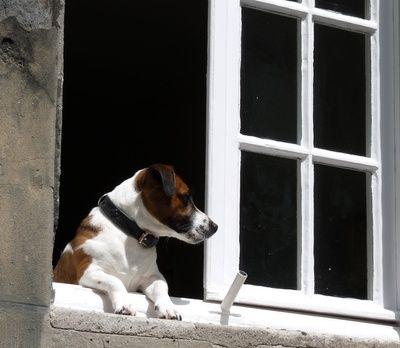 Haustiere und Mietwohnungen Haustiere, Jack russell