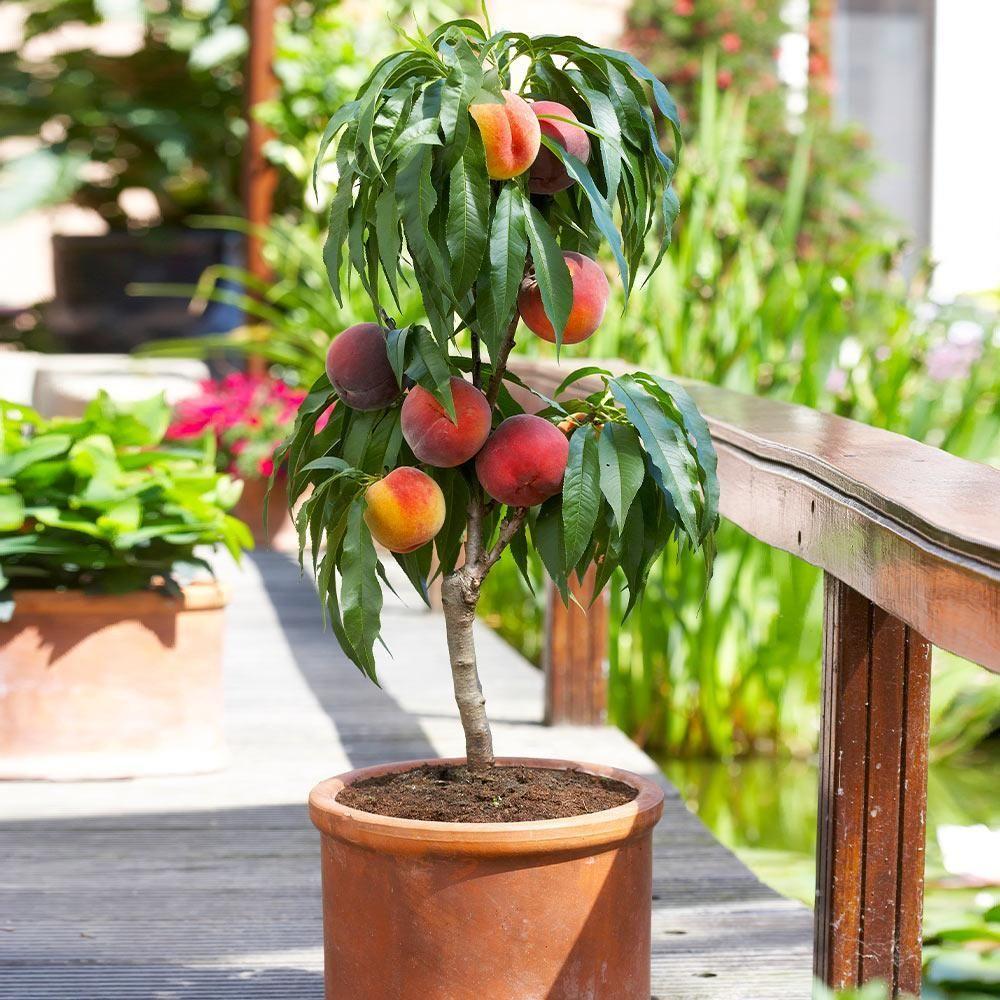 bonanza patio peach tree peach trees