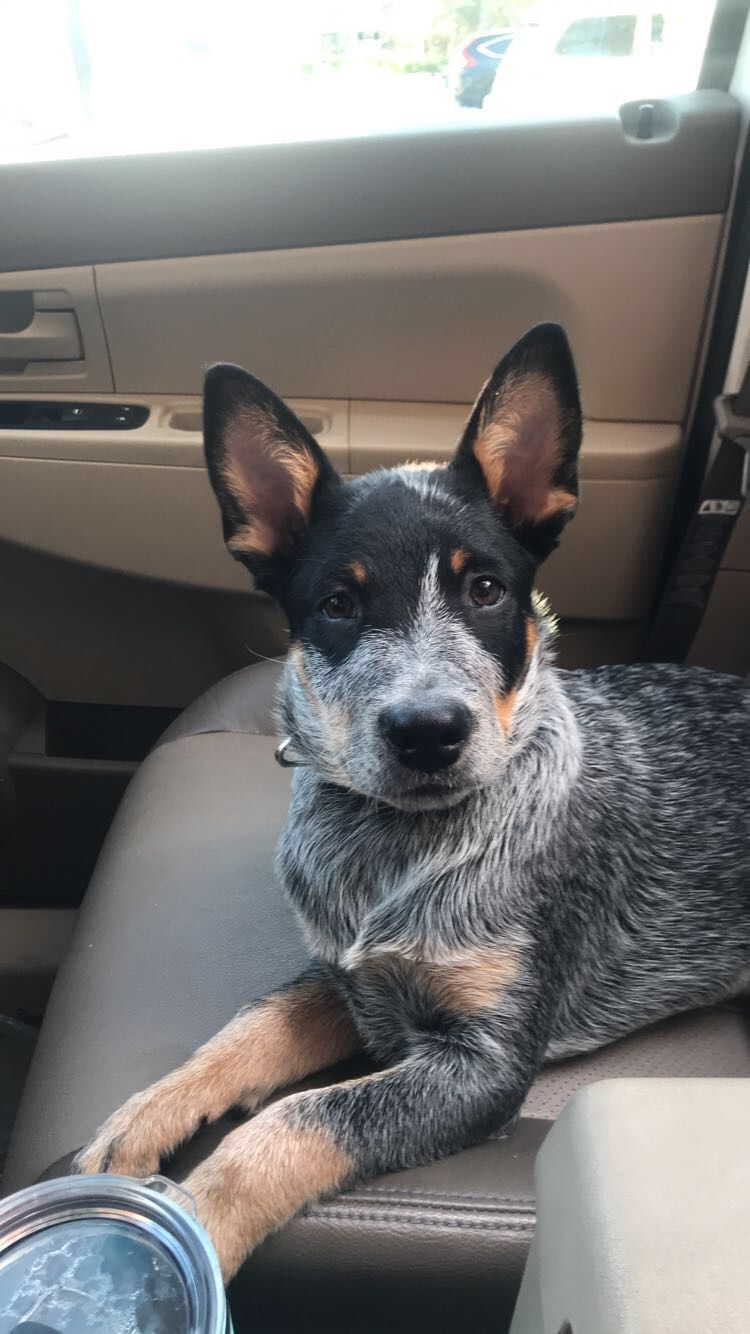 Pin By Melissa Luffman On Puppy Love 3 In 2020 Austrailian Cattle Dog Heeler Puppies Cattle Dog