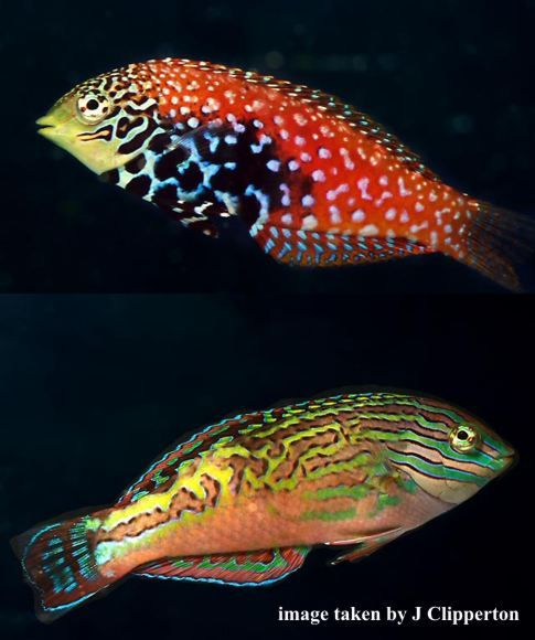 Clown Fairy Wrasse | Peacock Leopard Wrasse