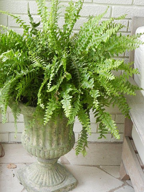 Stone Urns With Boston Ferns Raised Up On Stone Columns