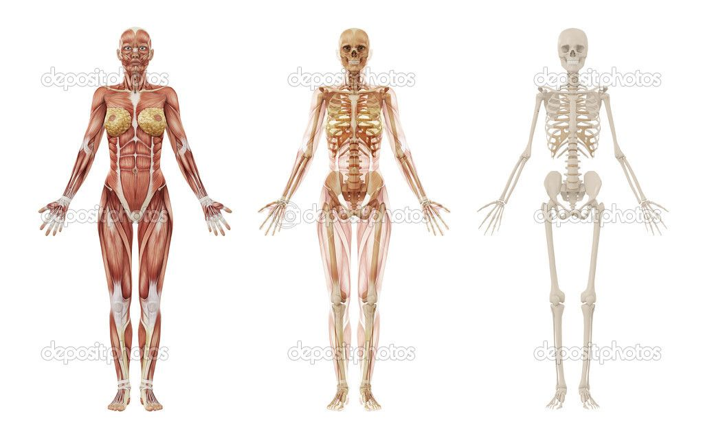 photos google and muscle anatomy on pinterest : female skeleton diagram - findchart.co