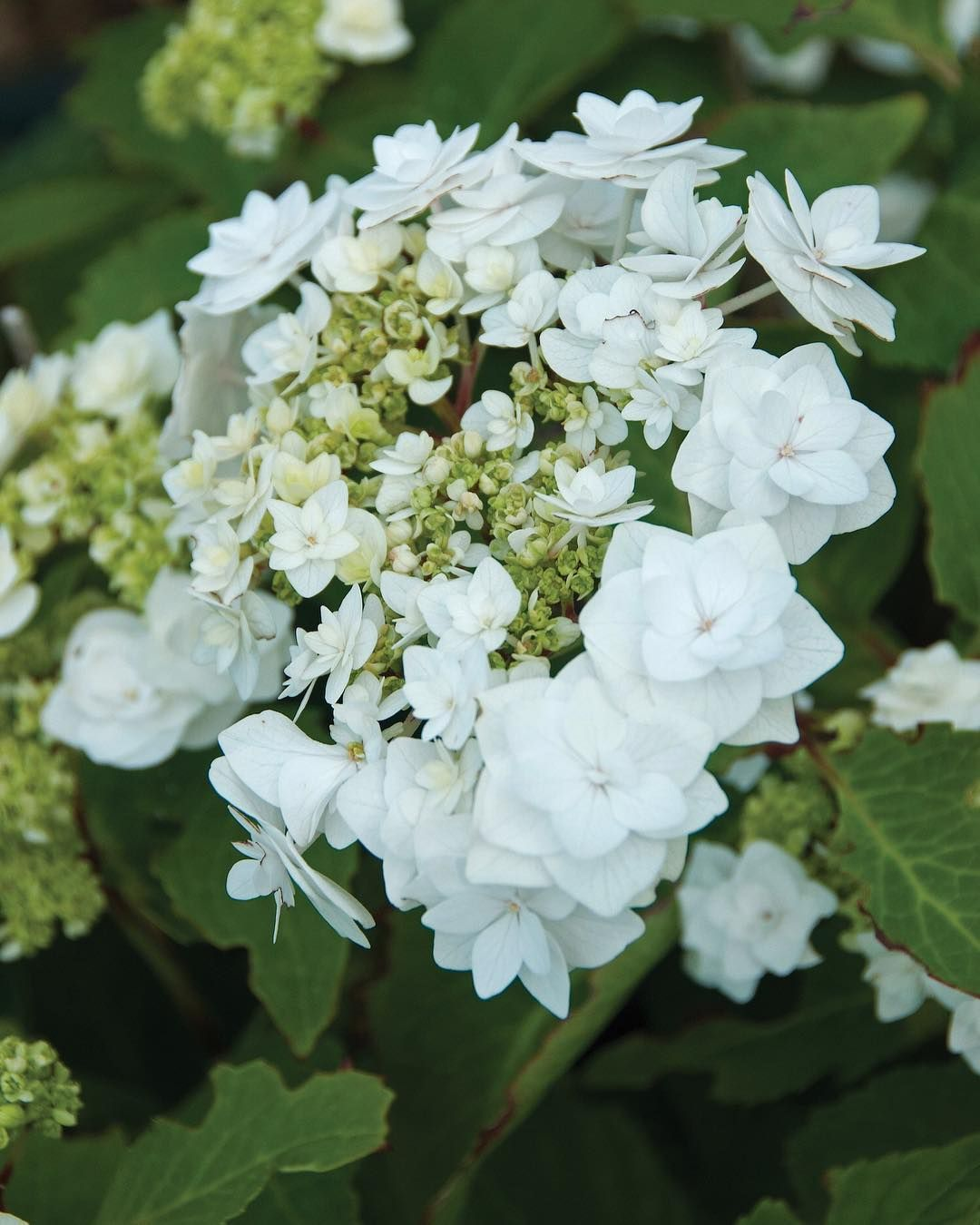 wedding gown hydrangea is a must-have in the garden! it has