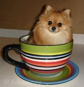 Adorable Teacup Pomeranian #pomeranian #teacuppomeranianpuppy Adorable Teacup Pomeranian #pomeranian #teacuppomeranianpuppy Adorable Teacup Pomeranian #pomeranian #teacuppomeranianpuppy Adorable Teacup Pomeranian #pomeranian #teacuppomeranianpuppy Adorable Teacup Pomeranian #pomeranian #teacuppomeranianpuppy Adorable Teacup Pomeranian #pomeranian #teacuppomeranianpuppy Adorable Teacup Pomeranian #pomeranian #teacuppomeranianpuppy Adorable Teacup Pomeranian #pomeranian #teacuppomeranianpuppy Ador #teacuppomeranianpuppy